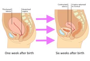 Uterus reduces in size